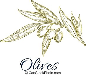 olive, skizze, fruechte, blätter, zweig