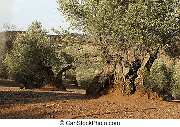 olive, sonnenuntergang, bäume