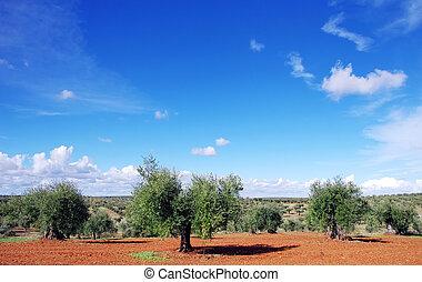 olive, sud, vieux, arbres, portugal