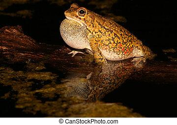 Olive toad calling - Male olive toad (Amietophrynus garmani)...