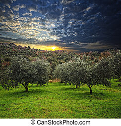 olive tree background - group of olive tree in green field...