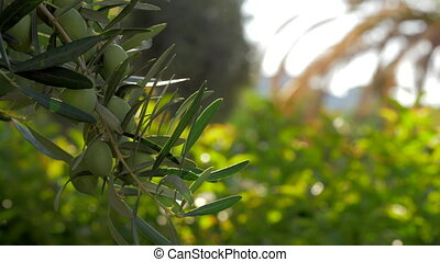 Olive tree branch against green garden - Slow motion...