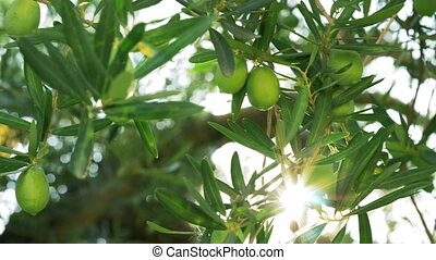Olive tree branch and sunbeam - Close-up shot of tree with...