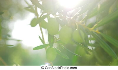 Olive tree branch in bright warm sun light - Close-up shot...