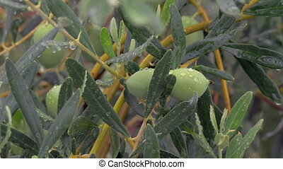 Olive tree branch is wet from rain - Close-up shot of olive...