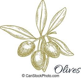 Olive tree branch of green olives vector sketch