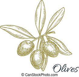 Olive tree branch of green olives vector sketch