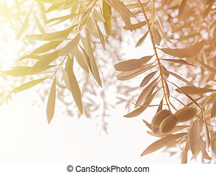 Olive tree branch. - Olive tree branch at warm autumn sunset...