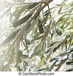 Olive tree brunch over evening sky.