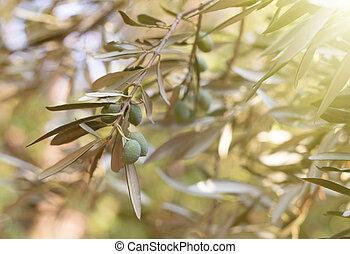 Olive tree brunch over white sky.