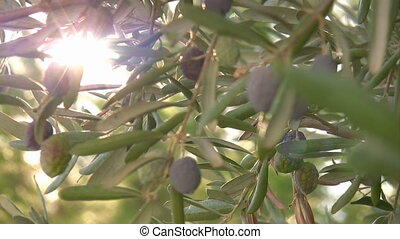 Olive tree close up - Black Olive Branch With Olives