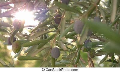 Olive tree close up - Black Olive Branch With Olives