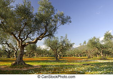 Image shows an olive tree field from the famous Kalamata region in southern Greece