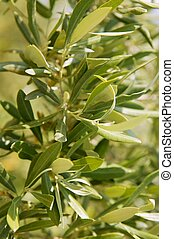 Olive tree field in Spain, macro close up