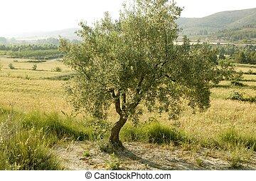 Olive tree field in Spain
