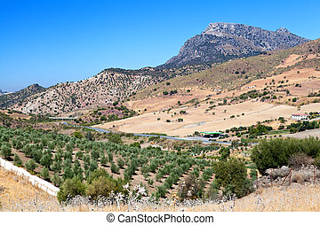 olive tree fields and mountain in Montecorto, Spain