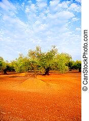 olive tree fields in red soil in Spain