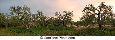 Olive tree grove panorama