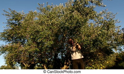 Olive tree Harvest - Olive Harvest Days,man under olive tree...