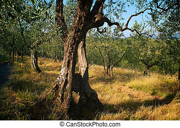 Olive tree in a country field in Tuscany 1