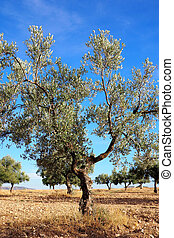 Olive tree in a plantation