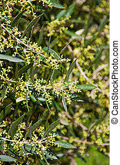 Olive tree in bloom - Closeup of olive tree in bloom in ...