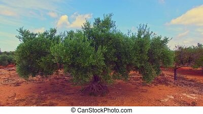 Olive tree in grove - Olive tree growth in olive grove....