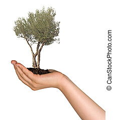 Olive tree in hand as a gift