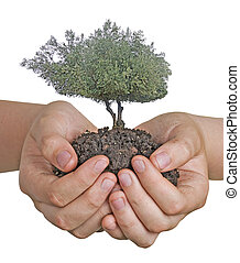 Olive tree in hands as a gift