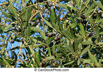 Olive tree in Israel - the middle east - background