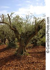 olive tree in pine Bark