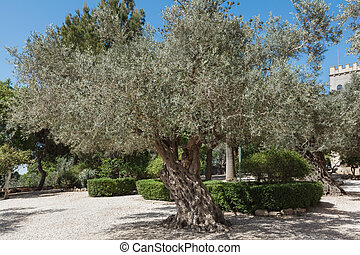 Olive tree in the city park