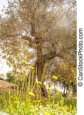 Olive tree in the spring