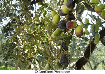 olive-tree italian