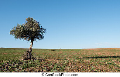 Olive tree on the wheat field