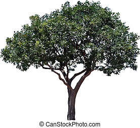 Olive tree. - One olive tree isolated on white background.