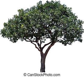 Olive tree. - One olive tree isolated on white background.