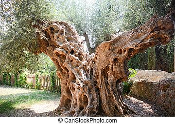 olive tree secular