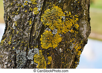 Olive tree trunk with yellow moss fungus.