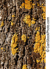 olive tree trunke wood texture