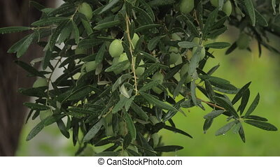 Olive tree under the rain - Olive tree branch with many...