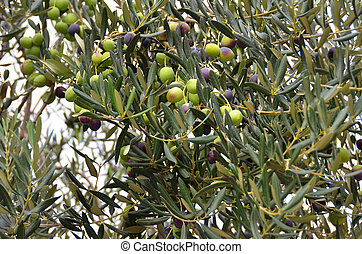 Olive tree with berry - Olive tree with ripe berry on branch