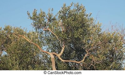 Olive tree with twisted trunk