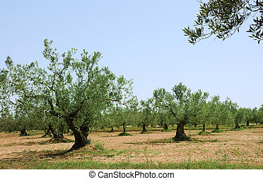 Olive trees aranged in lines