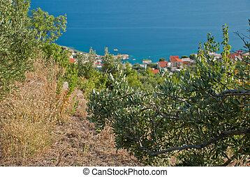 Olive Trees - Croatia - Olive Trees in countryside of Igrane...