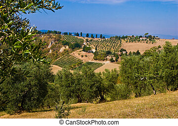 Olive trees field in the hills of Toscane