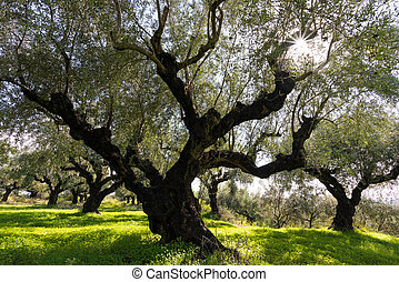 Olive trees - Field of olive trees in Peloponnese, Greece