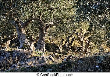 Olive trees from Mediterranean - Old olive plantation