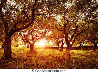 Olive trees garden - Picture of beautiful orange sunset in...