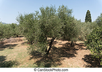 olive trees hill